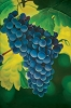 Grapes Oil Canvas Painting